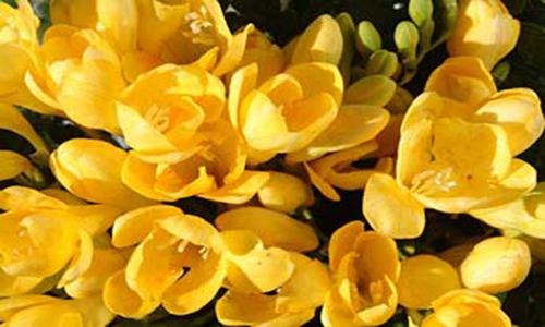 6 fiestas flor